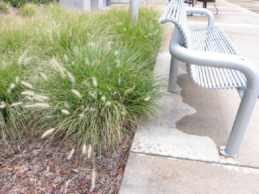 Dwarf hardy fountain grass terrain inc for Hardy fountain grass